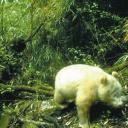 卧龙保护区拍到白色大熊猫