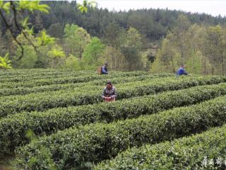 春茶正当时  茶产业助乡亲脱贫致富