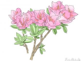 四川省树省花评选竞争激烈 杜鹃再次反超蜀葵二度登顶