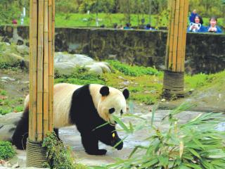 """海归大熊猫""""宝宝""""入住新家与公众见面"""