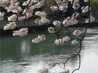 美爆!府河边泡桐花盛开