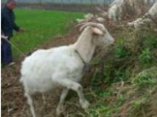 时光丨我家喂了半只羊