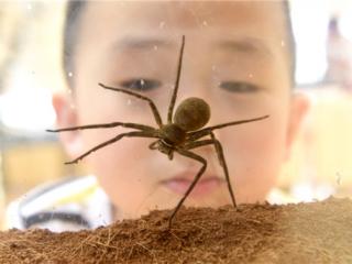 世界蜘蛛展来了! 比巴掌大的蜘蛛 还有上亿年的蜘蛛化石