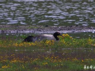 甘孜白玉县再次发现黑颈鹤繁殖行为