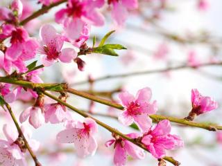 少年派|美丽的桃花