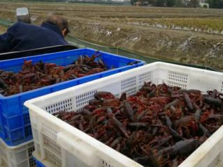 """成都人一天吃掉13万斤虾 三分之二商户都是""""湖北商帮"""""""