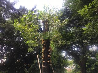 """雨后绿化树变""""蘑菇树"""" 专家建议市民不要轻易食用"""