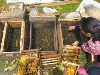 成都一小区养蜂伤人劝搬离遭忽视 深夜投毒杀死6万只蜜蜂