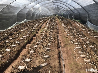 """羊肚菌丰收,菌类总产值10亿!来看赵家镇的战""""疫""""经验"""