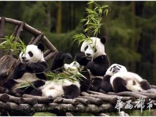 都市看熊猫,安逸耍成华感受生态之美
